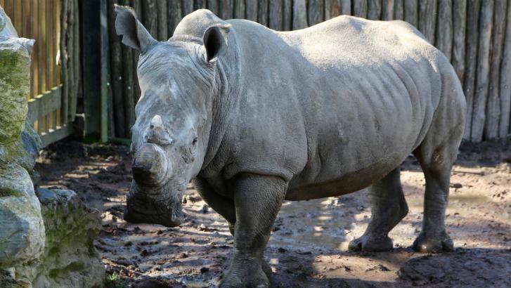 Les cornes des rhinocéros de Pairi Daiza raccourcies