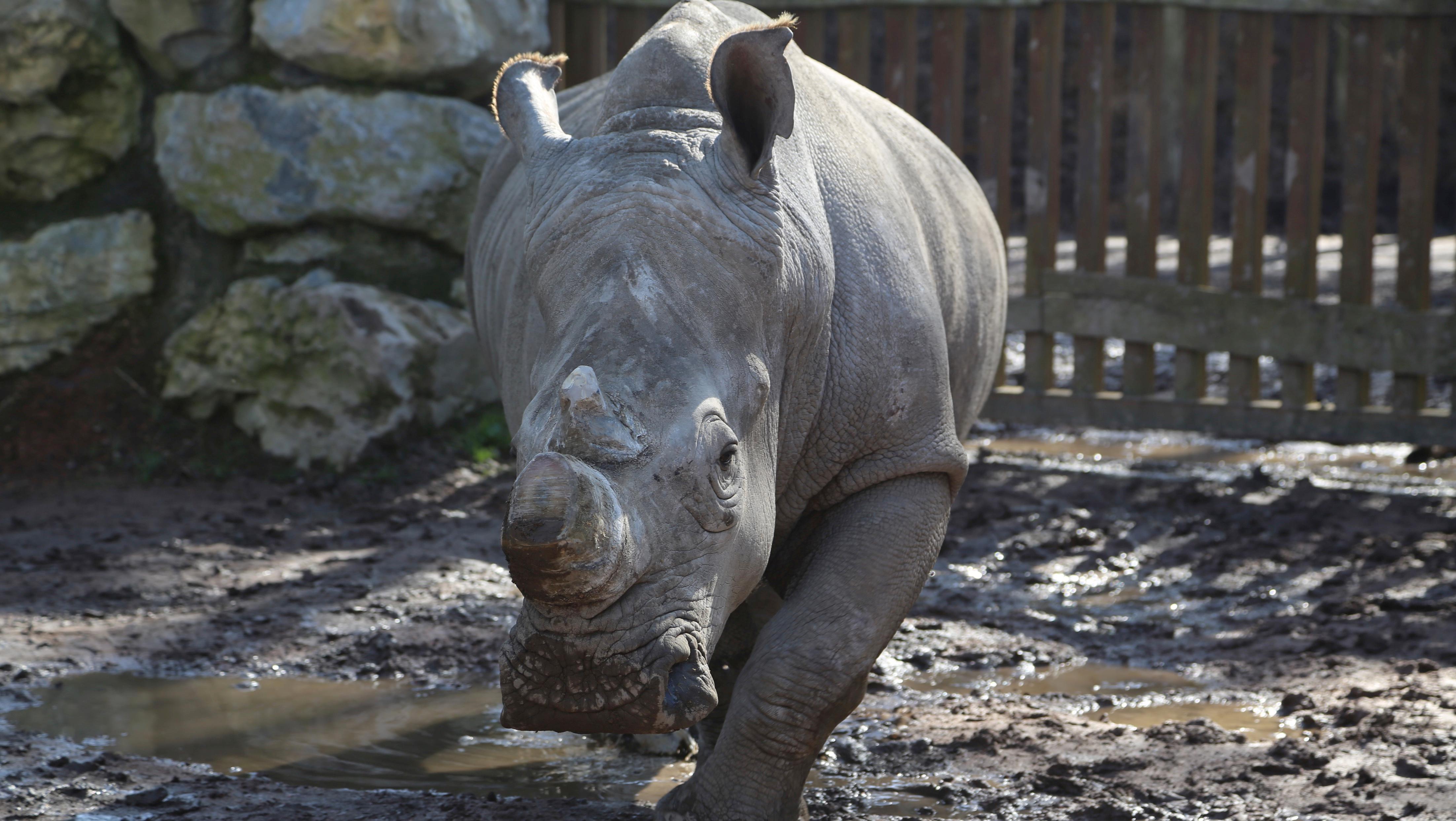 Les cornes de rhinocéros ont été réduites à Pairi Daiza