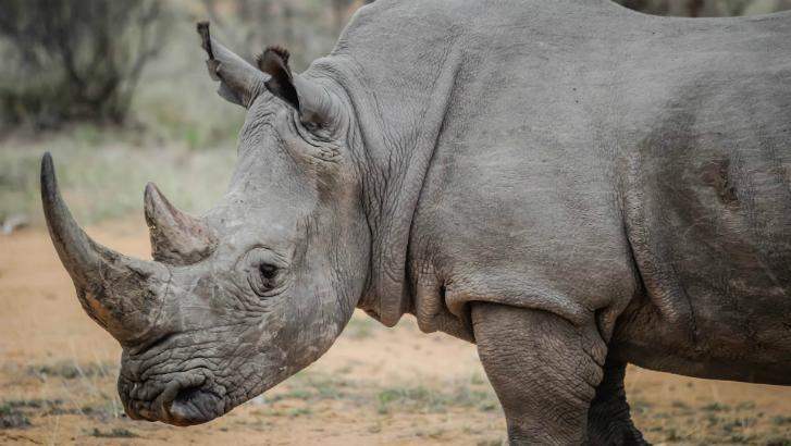 Rhinocéros abattu dans un zoo français : quelles mesures à Pairi Daiza ?