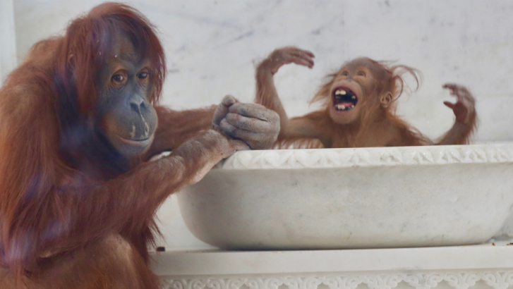 La famille d'orangs-outans découvre le Temple des fleurs de Pairi Daiza