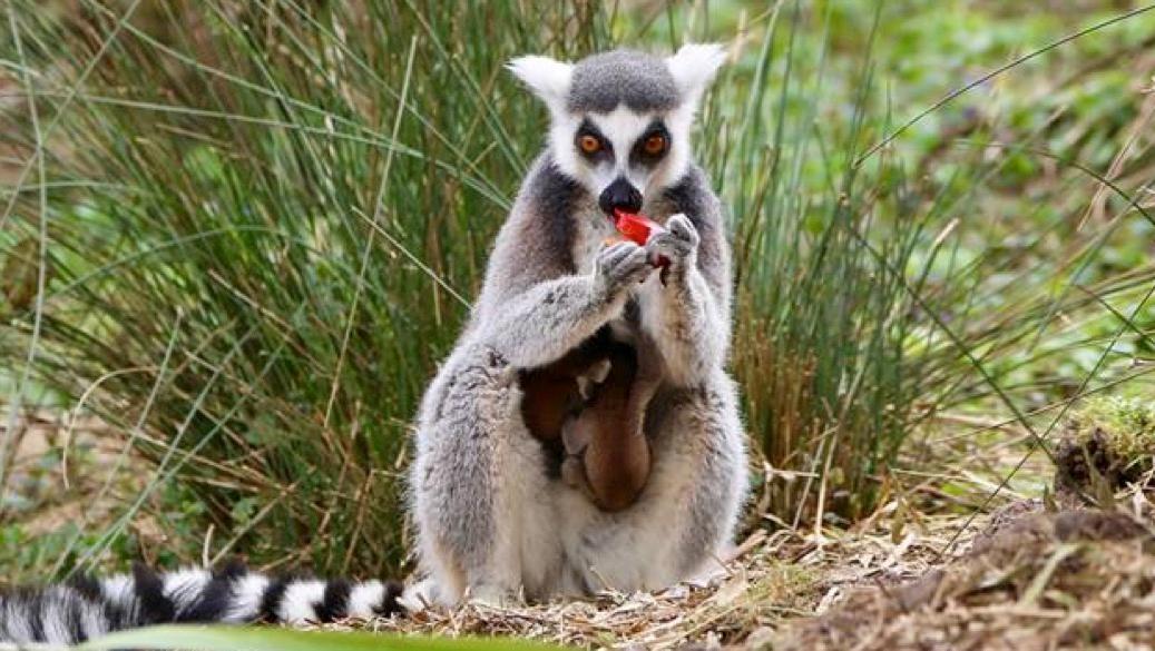 Naissance de jumeaux lémuriens à Pairi Daiza