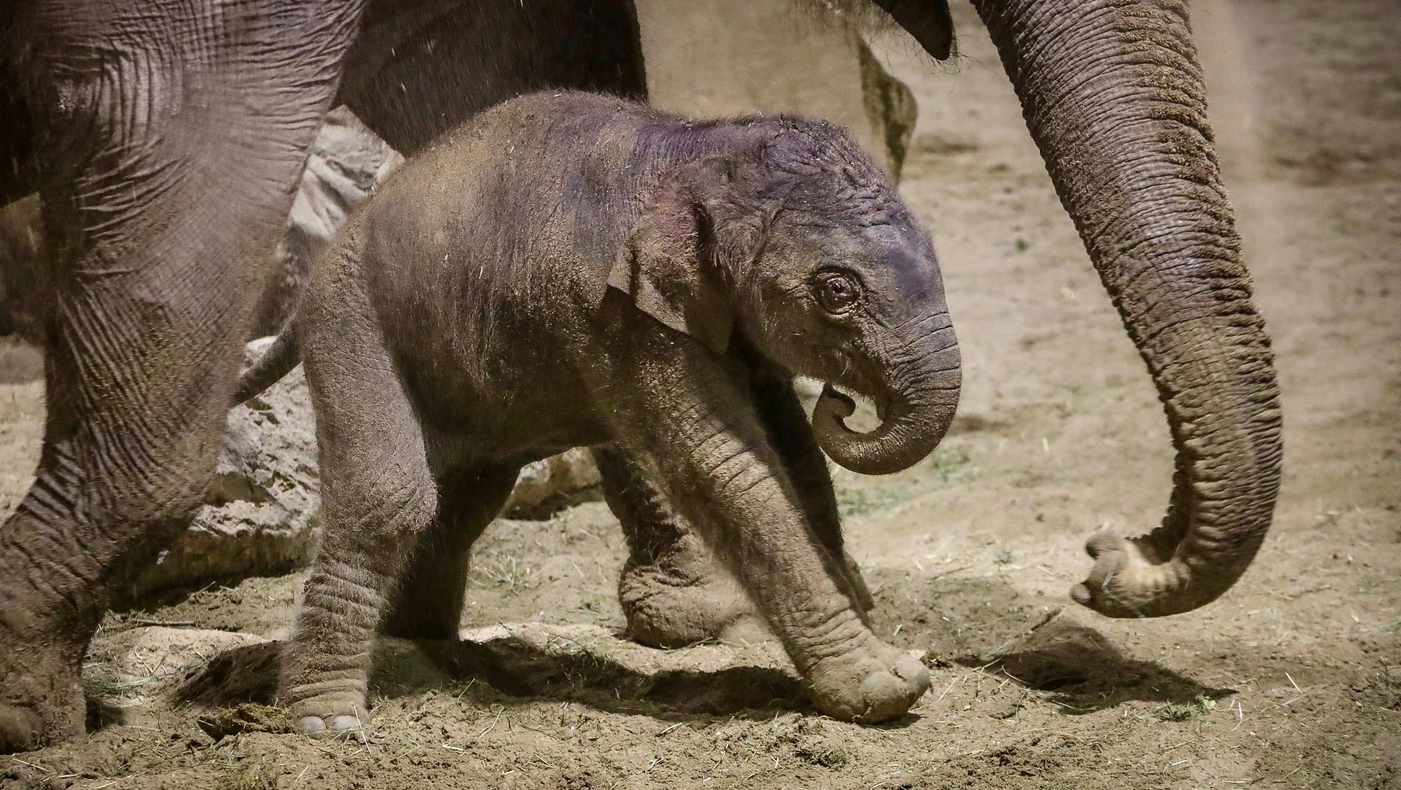 Un éléphanteau d'Asie est né ce mardi à Pairi Daiza