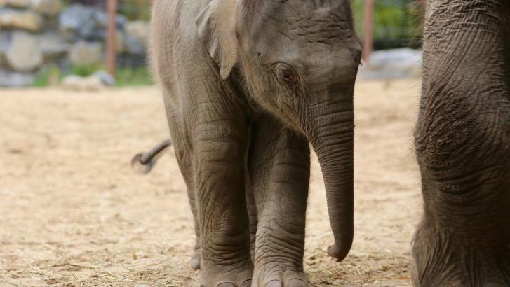 Le prénom de l'éléphanteau de Pairi Daiza a été choisi