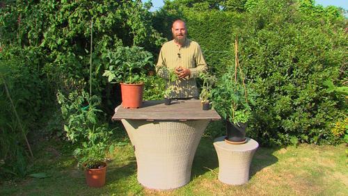 Les plants de tomates.