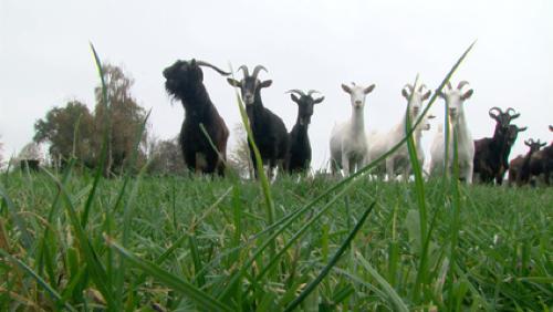 La chèvrerie de l'Enclus