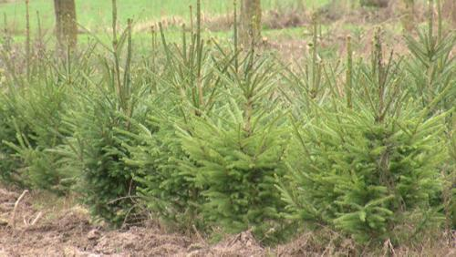 "Des sapins ""Made in Wapi"""