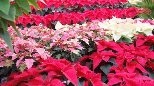 Les plantes d'hiver d'intérieur pendant la période des fêtes de fin d'année