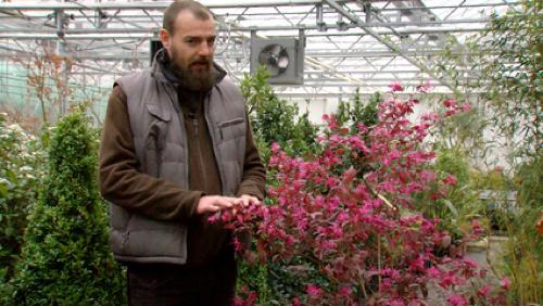 Les fleurs d'hiver, l'Hammamélis et le Loropélum