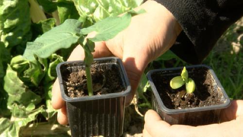 Retour sur la germination de nos tomates et haricots coco