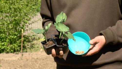 Les semis et la plantation d'haricots au jardin