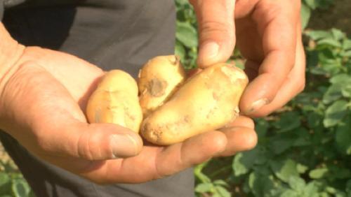 Plantation de pommes de terre en juillet ?