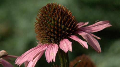 L'echinacea purpurea