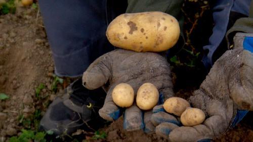 Retour sur les Pommes de terre plantées en mi-juillet