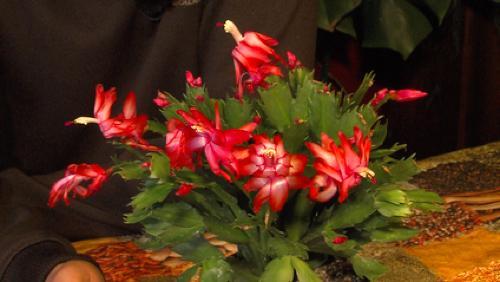 Le Schlumbergera ou cactus de Noël