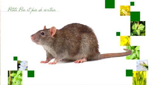 Les différents rats