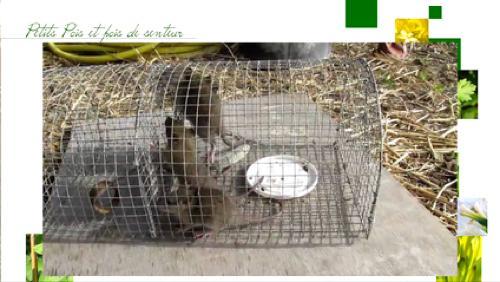 La lutte préventive et curative face aux rats
