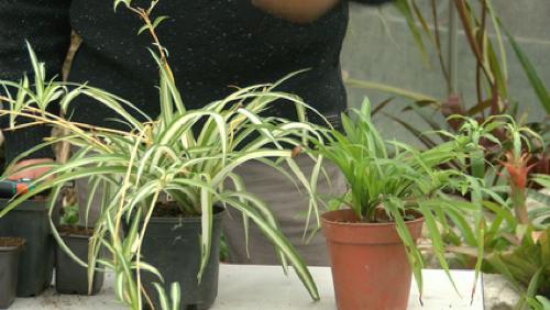 Le chlorophytum