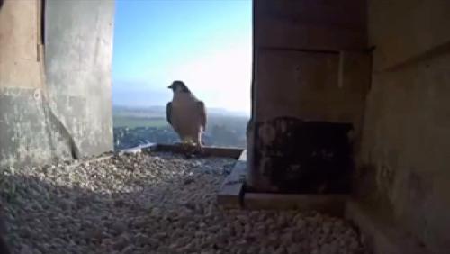 Une caméra pour surveiller les faucons pèlerins