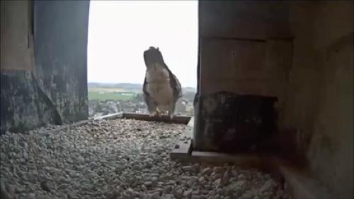 C'est déjà le printemps pour les faucons de Dottignies