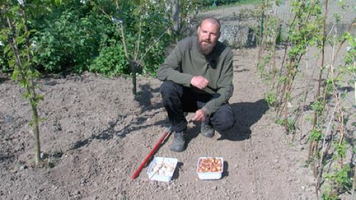 La plantation des échalotes et des aulx (ails)