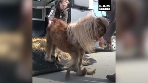 Poly, le poney maltraité, émeut jusqu'en Australie