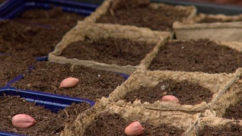 La plantation des arachides