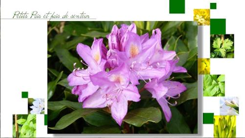 Rhododendron ou azalées ?