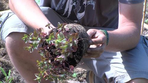 La menthe, comment la planter et éviter sa prolifération ?