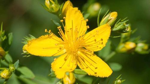 Les plantes médicinales, le plantain et le millepertuis perforé