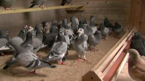 Colombophilie: pertes de pigeons