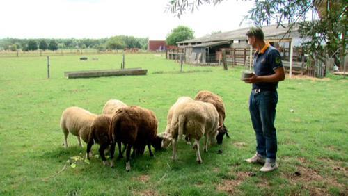 AFSCA: une amende de 750 euros pour ses moutons