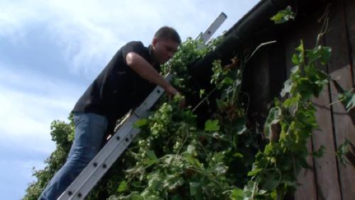 Journée de cueillette du houblon à la Brasserie des carrières