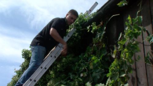 Cueillette du houblon à la Brasserie des carrières