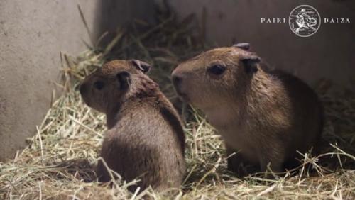 Deux nouvelles têtes chez les capybaras de Pairi Daiza