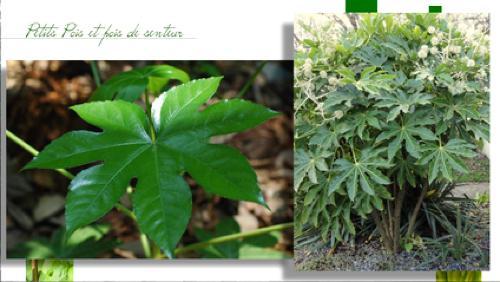 Le fastia japonica