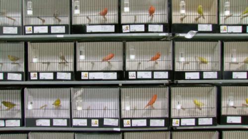 Un arc-en-ciel de canaris en exposition
