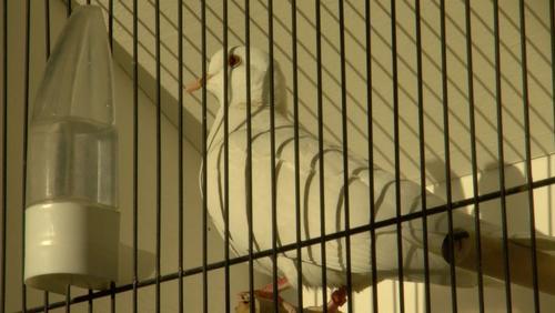 Les plus beaux oiseaux du Hainaut s'exposent