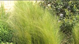 Le stipa tenuifolia