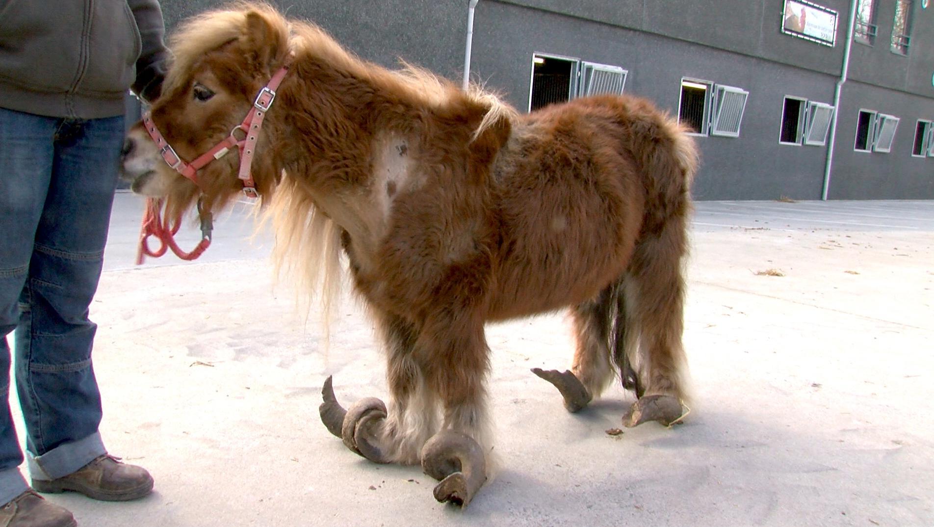 Une simple réprimande pour maltraitance envers le poney Poly