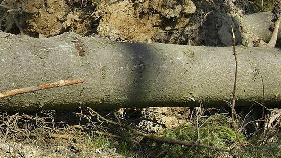 Tempête Eleanor: des chutes d'arbres en Wallonie picarde