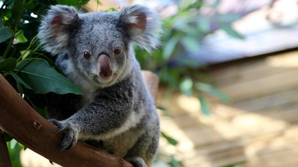 Un deuxième koala décède à Pairi Daiza