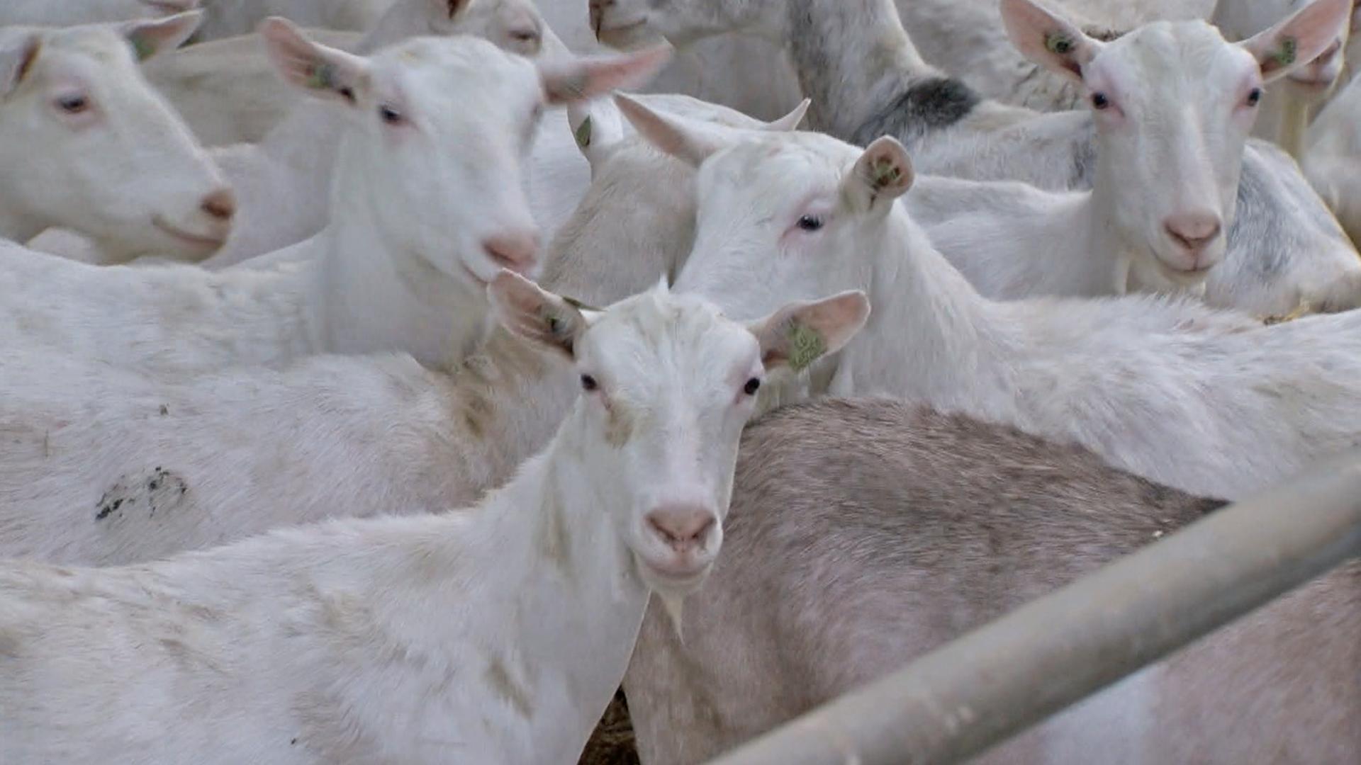 6500 chèvres au village : une trentaine de courriers reçus