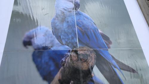 L'Ara de Spix, espèce éteinte dans la nature, arrive à Pairi Daiza