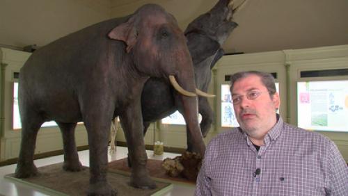 La triste histoire de Miss DJeck, l'éléphante tueuse en série du musée d'Histoire naturelle