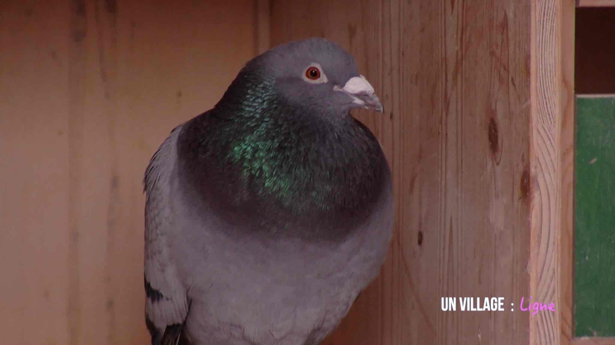 La viande et les pigeons voyageurs