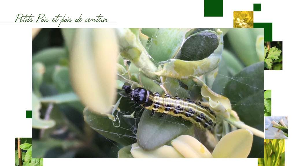 Les papillons et chenilles qui ravagent nos jardins