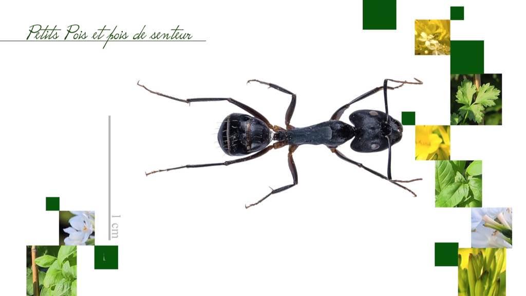 Question de Cédric Talleman au sujet des fourmis charpent!ères