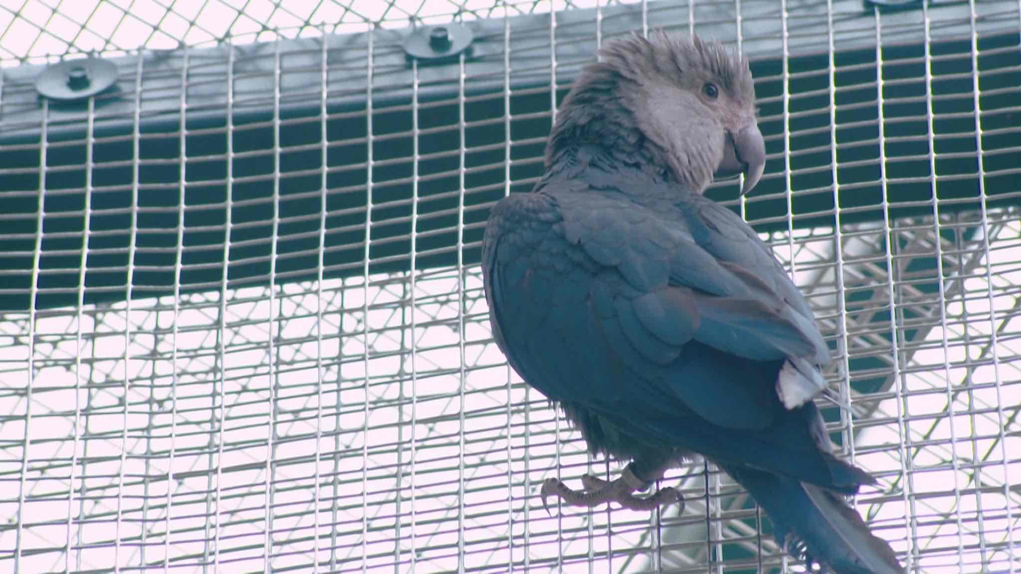 Pairi Daiza veut réintroduire l'Ara de Spix dans la nature