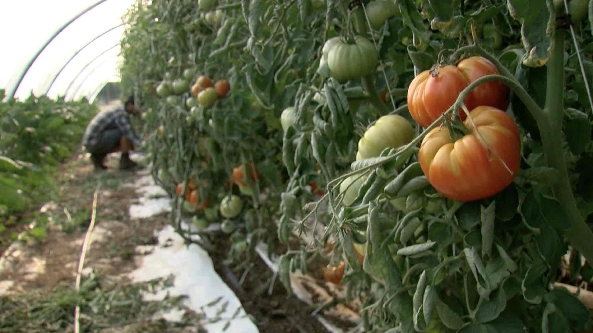 Sécheresse: une grosse dose de travail en plus pour les producteurs de légumes