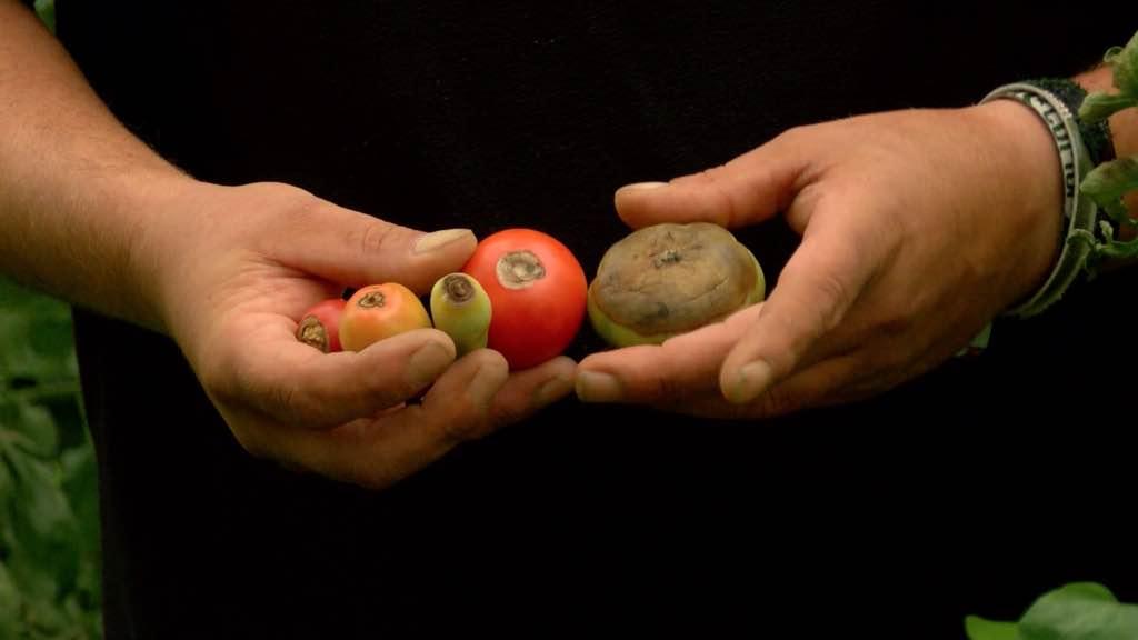 Des tomates qui pourrissent par le bas?